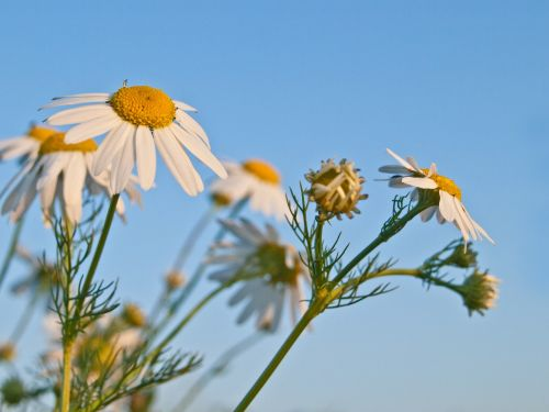 genuine chamomile nature herb