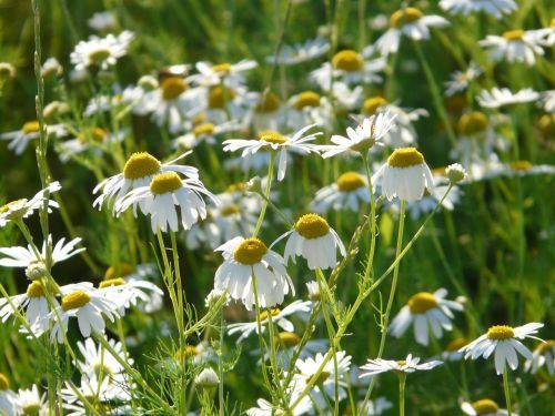 tikra ramunėlė,Matricaria chamomilla,ramunė,gėlės,augalas,matricaria recutita,ramunėlių laukas,kompozitai,asteraceae