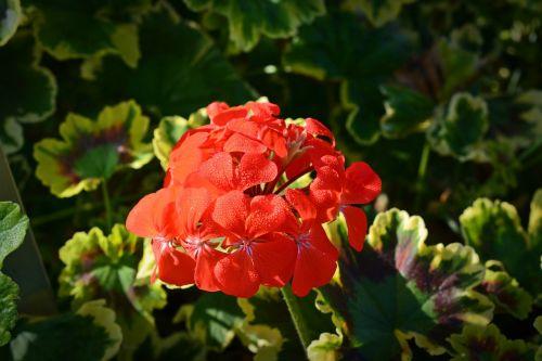 geraniaceae pelagonium mrs