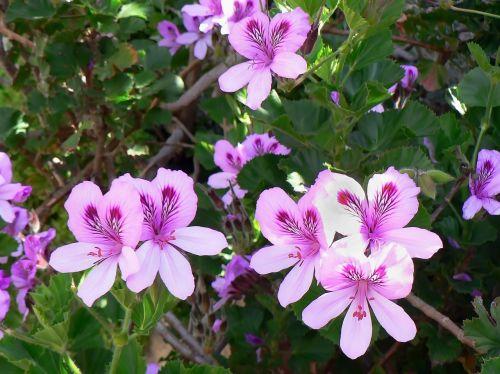 geranium pelargonium pink flowers