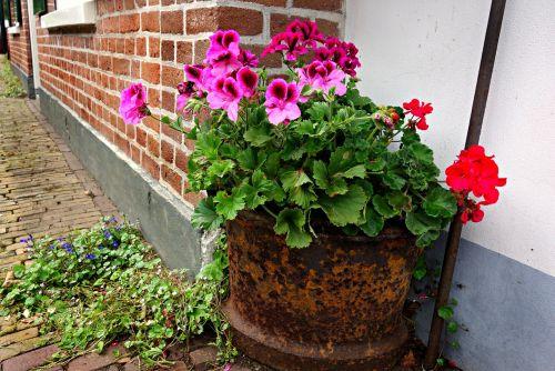 geranium flower pot