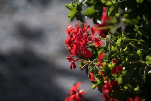 geranium pelargoniums pelargonium