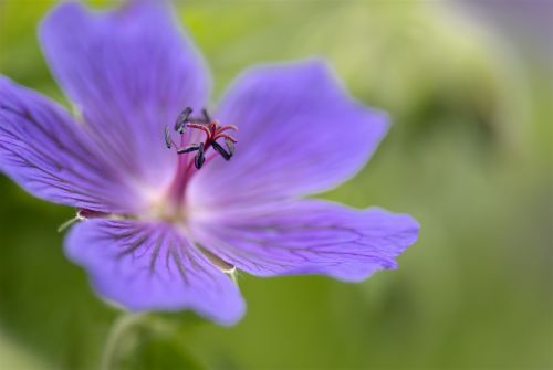 geranium perennial plants