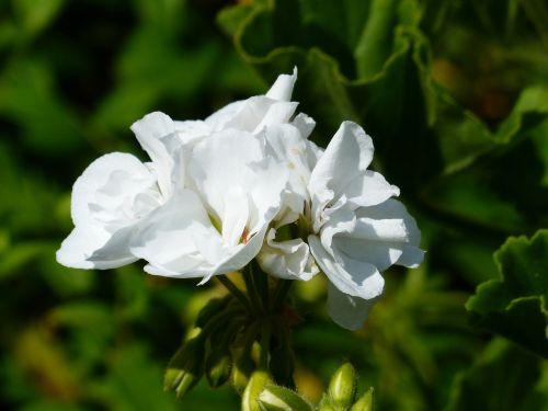 geranium white flower