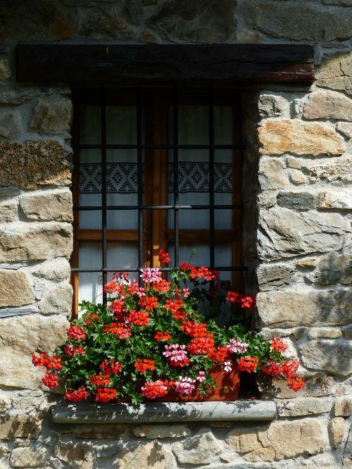 geranium flowers plant