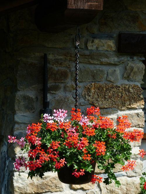 geranium flowers slope geranien