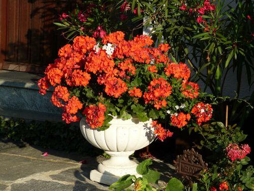 geranium,raudona,žiedas,žydėti,gėlė,flora,raudona geranija,ryškiai raudona,spalvinga