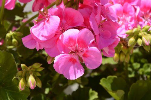 geranium flowers pink