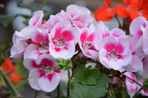 geranium pink rose geranium