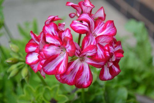geranium ivy-leaf pink