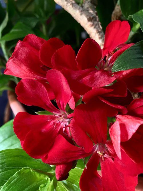geranium red petals red