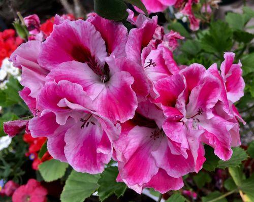 geranium nature pink flower