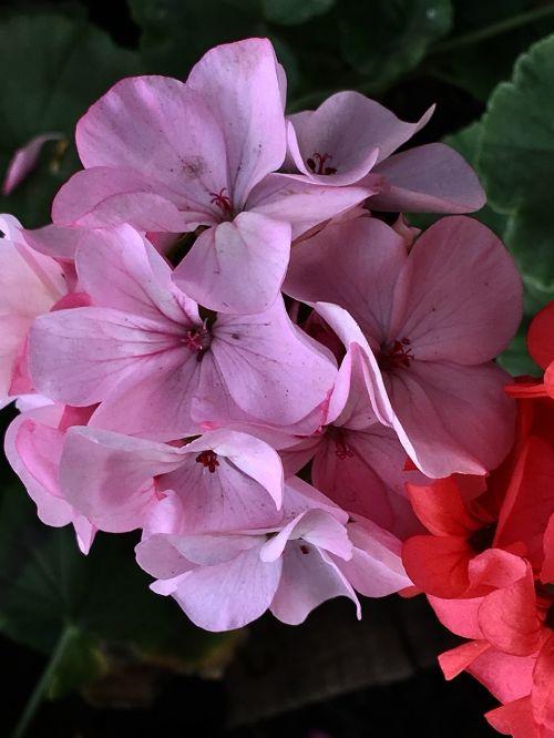 geranium plants garden
