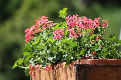 geranium  flowers  balcony plant