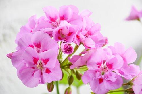 geranium  precious geranium two-tone  pink