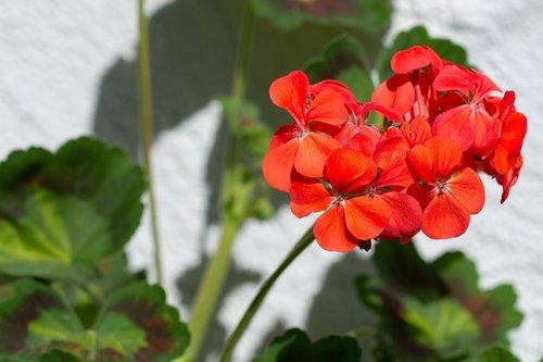 Geranium, raudona, raudona pelargonija, gėlė, raudona gėlė, žiedas, žydi, balkonas gėlė, vasara, Iš arti
