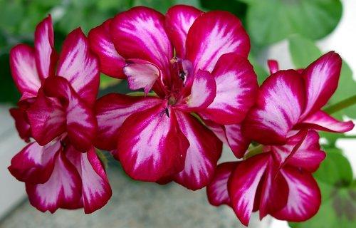 geranium  flower  plant