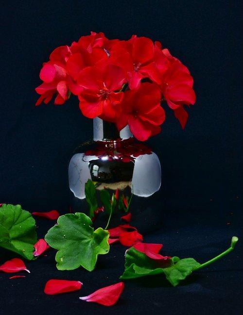 geranium  flowers  red