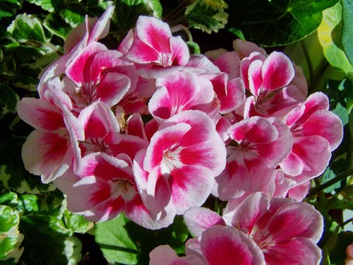 geranium  potted flower  white-and-pink-flowered
