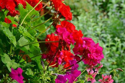 geranium  balcony plant  flowers