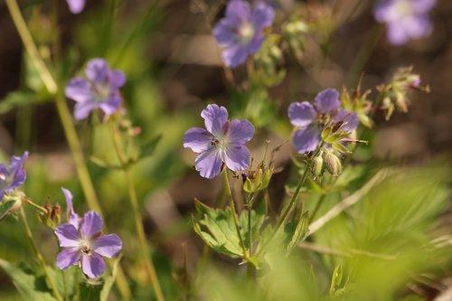 geranium  geranium eriostemon  flowers