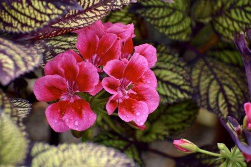 geranium  pink  flowers