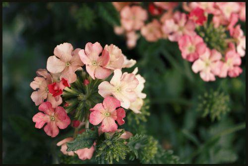 geranium geraniums basket flowers