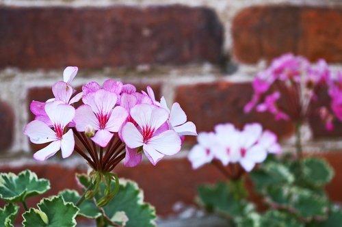 geranium  summer flower  blossom