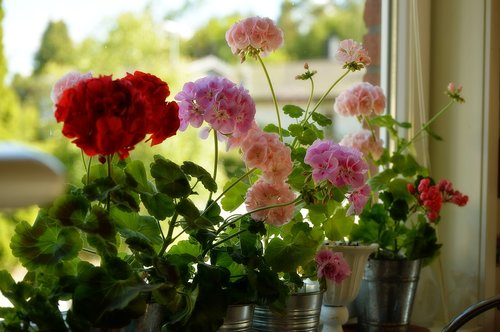 geranium  flower  spring
