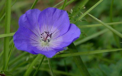 geranium  garden  flower