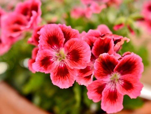 geranium  flower  pink