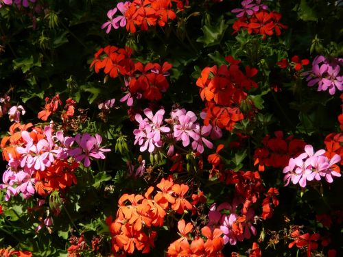 geranium balcony plants flowers
