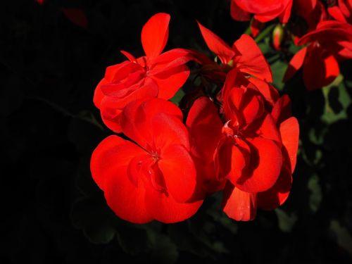 geranium red plant
