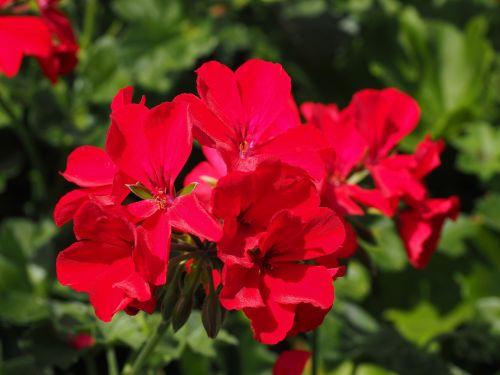 geranium, žiedas, žydėti, gėlė, raudona, pelargonium cucullatum, pelargonium grandiflorum, Regal pelargonium, Balkonų gamykla, kambarinis augalas, kilnus pelargoniumas, raudona geranija, ryškiai raudona