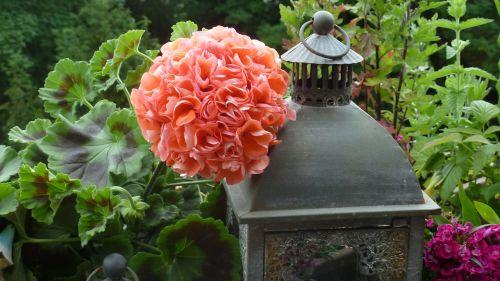 balcony geranium flowers