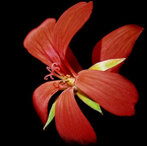 geranium,blossom,bloom,red,close,plant,pelargonium grandiflorum,balcony plant,pelargoniums,ornamental plant,bloom,container plant,flower