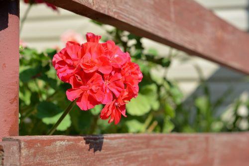 geranium balcony terrace