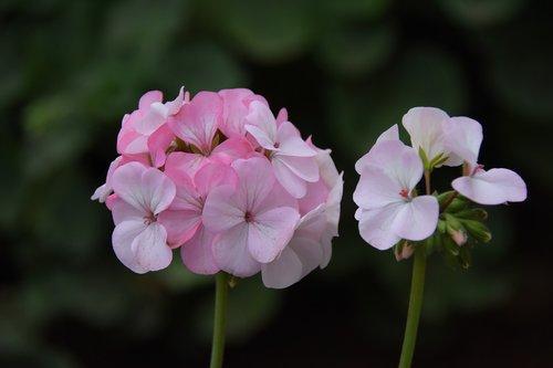 geranium discussion  pink  spring