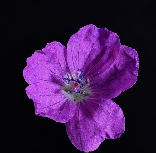 geranium himalayense  geranium wallichianum  geranium greenhouse