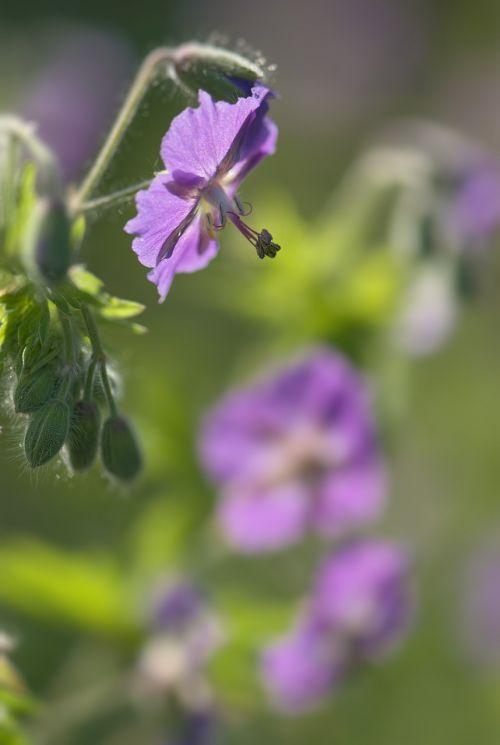 geranium phaeum flower violet