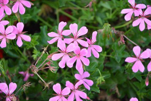 geranium simple flower color pink repel mosquitoes