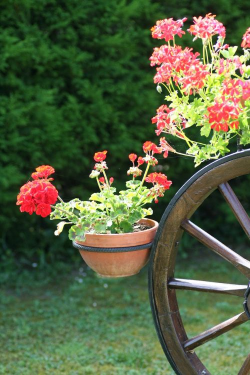 geraniums alsace france