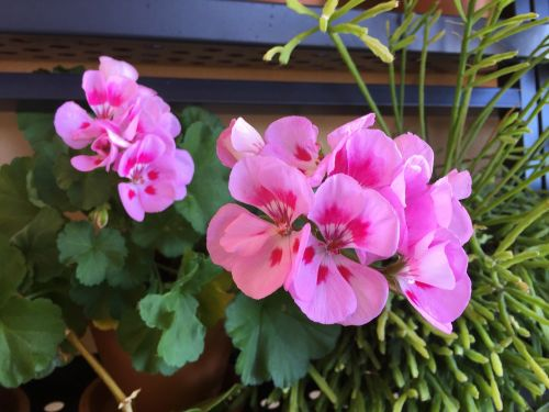 geraniums geranium flowers