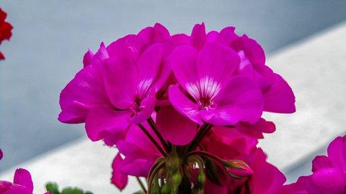 geraniums  flowers  garden