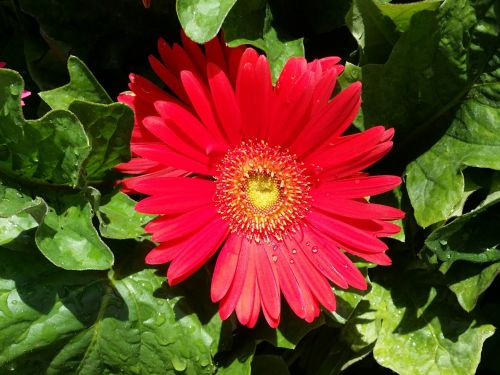 gerber daisy red