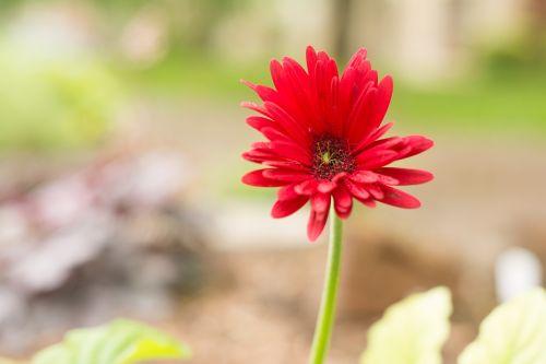 gerber daisy green