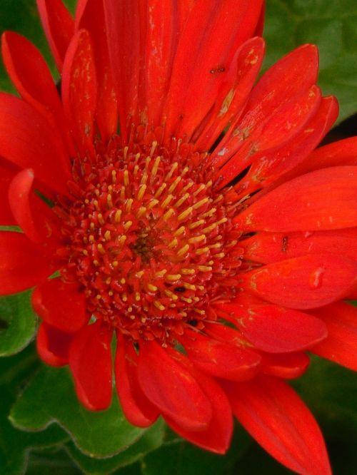 gerber daisy flower
