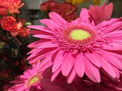 gerber daisy daisy flower