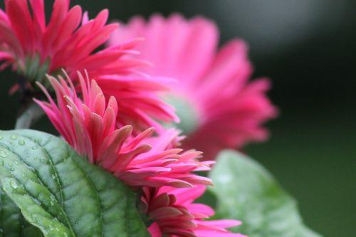 gerber daisy flower spring