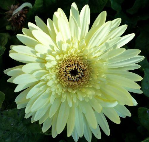 gerber daisy white flower